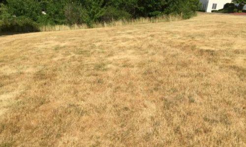Une pelouse, jaunie par la chaleur